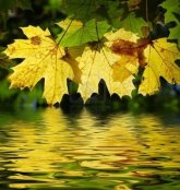 3297053-yellow-maple-leaves-with-a-reflection-in-water
