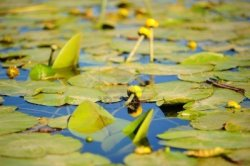 7542828-yellow-water-lilies